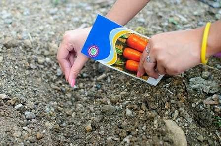 Посадка моркови в открытый грунт: любительская инструкция