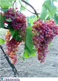 Виноград кишмиш: лучшие бессемянные сорта