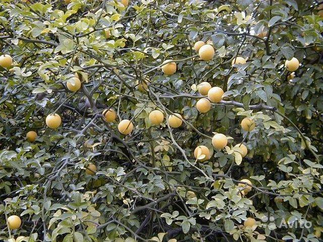ᐉ лимон дикий описание и особенности - roza-zanoza.ru