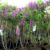 Размножение садовой сирени: сроки и правила