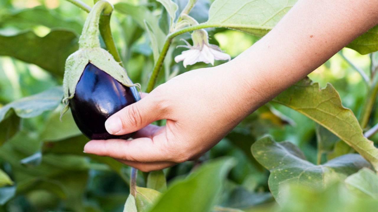 Выращивание баклажанов: болезни, вредители, внесение удобрений  