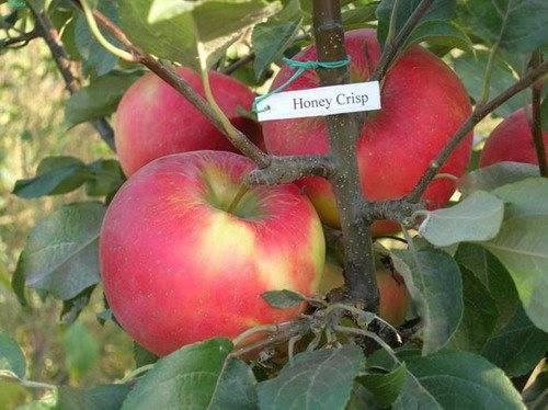 Яблоня хоней крисп: описание сорта с фото,отзывы, посадка и уход