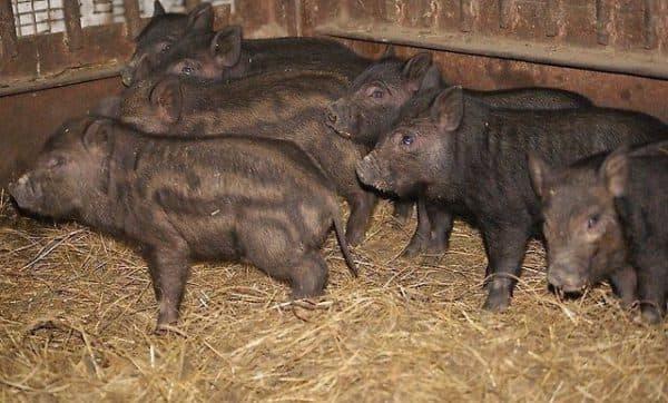 Порода свиней кармалы • характеристика, уход и кормление