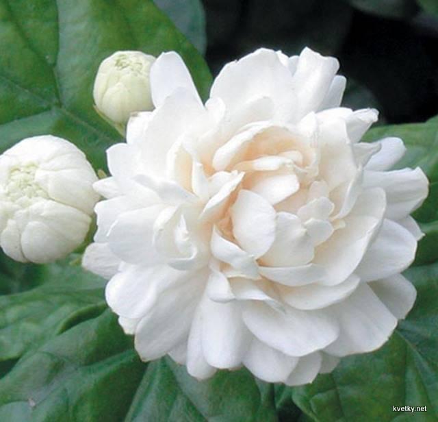 Жасмин самбак (sambac): описание, виды, выращивание и уход - молочай
