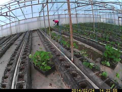 Посадка огурцов в теплице — расстояние между растениями