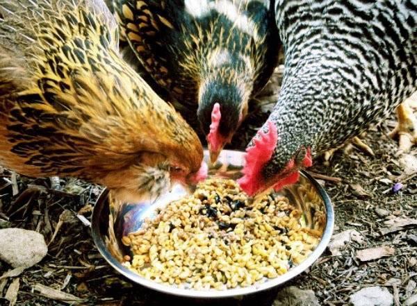Чем лучше кормить кур?