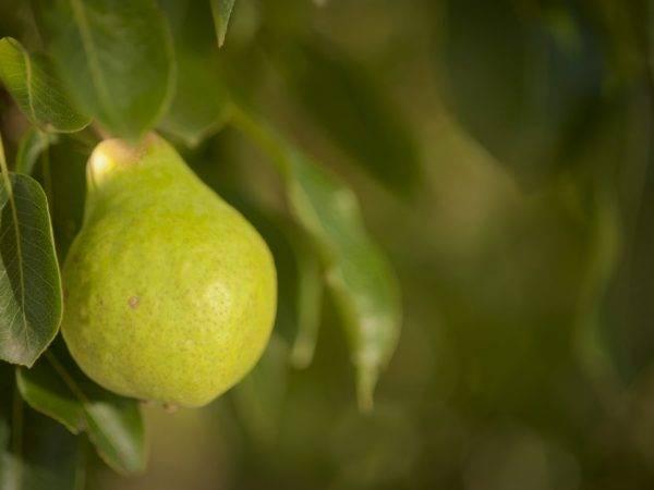 Груша память жегалова: выращиваем сорт с ароматными плодами