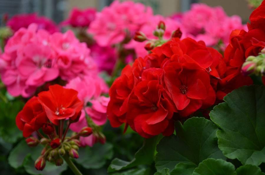 Душистая пеларгония долго не цветет? почему дает только листья, как помочь растению?