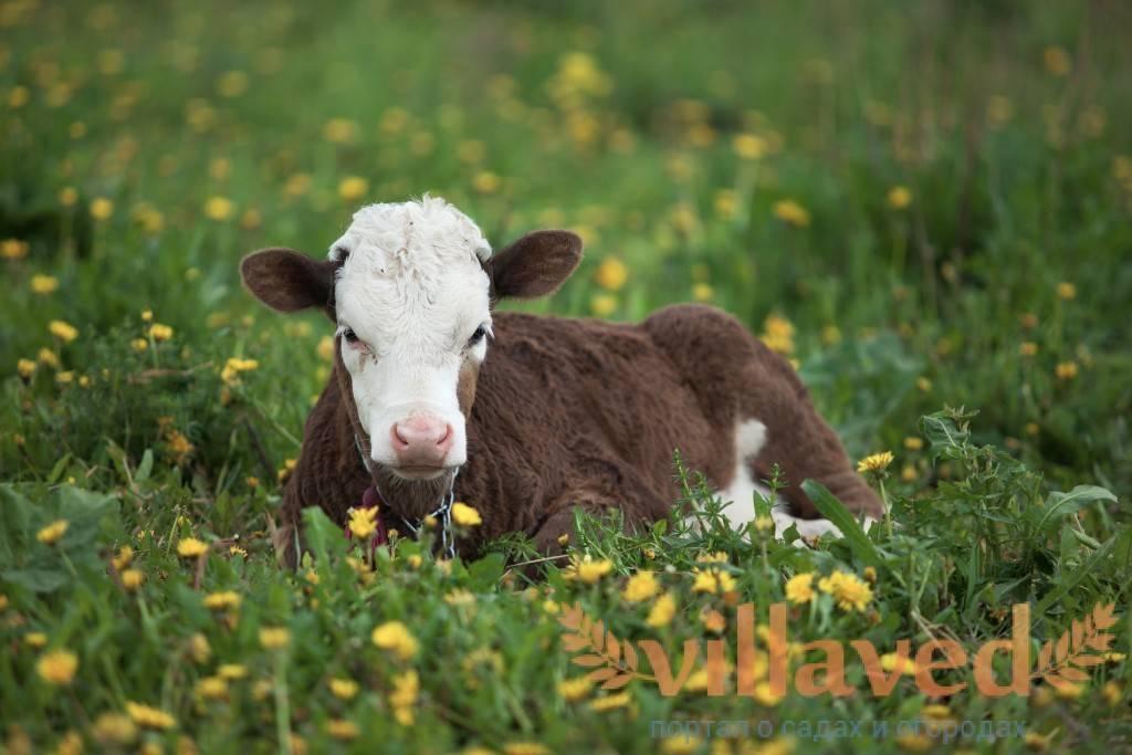 Корова не встает после отела: что делать, причины