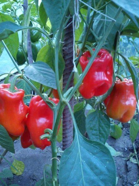 Перец сладкий богатырь: описание сорта, отзывы, фото, урожайность