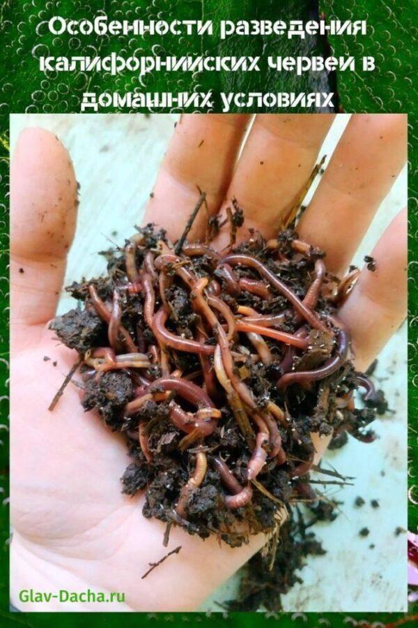 Калифорнийские черви — особенности разведения