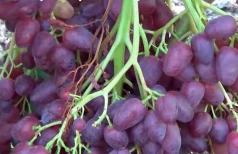 Виноград велес: посадка и уход + подробное описание сорта велес