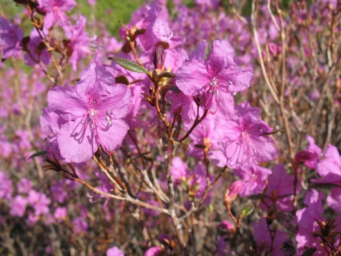 Рододендрон даурский: как выглядит, где растет и как ухаживать?