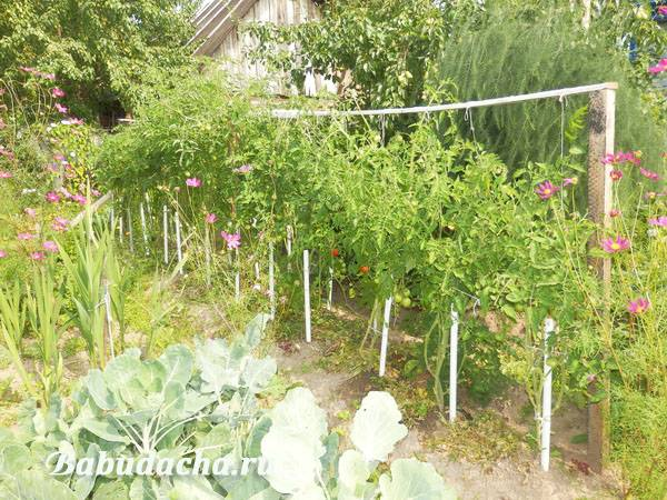 Как правильно подвязать помидоры в открытом грунте