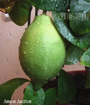 Всё ли вы знаете о лимоне: основные сорта этого цитруса