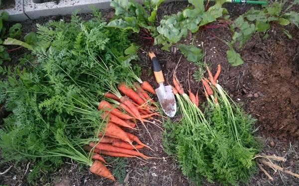 Когда убирать морковь и свеклу в подмосковье в 2021 году: таблица благоприятных дней, влияние сорта, советы по хранению
