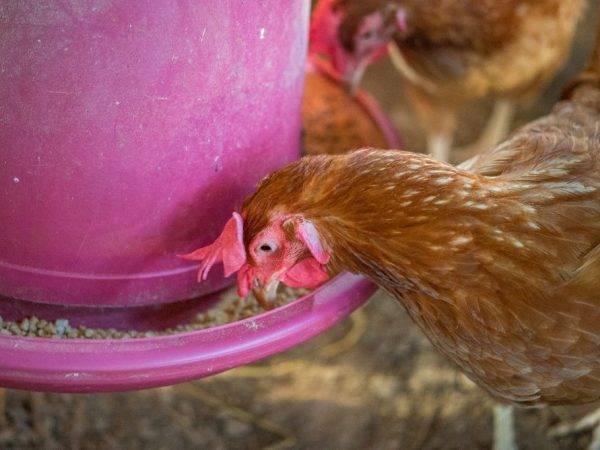 Фуразолидон для кур-несушек, цыплят и бройлеров. назначение, показания к применению, дозировка