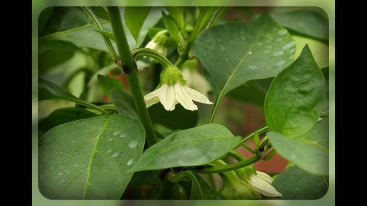 Почему перец не растет в высоту в теплице