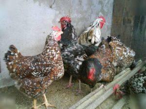 Ливенские куры (31 фото): история и описание породы ситцевых кур, разведение и отзывы