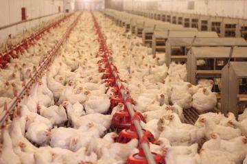 Чем кормить цыплят в домашних условиях: нормы и рацион питания