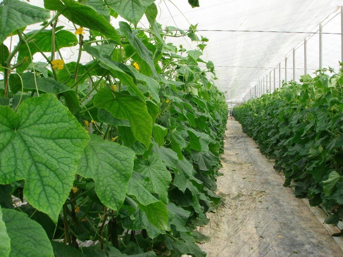 Какая должна быть температура в теплице для помидор и как ее регулировать