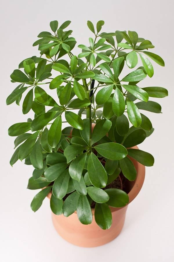 Шефлера - посадка, выращивание, пересадка и обрезка декоративного растения (130 фото + видео)