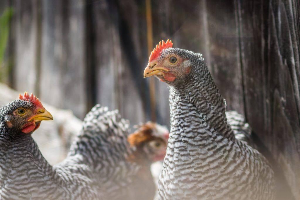 Цыплята амрокс: описание и фото породы, как определить пол, а также особенности содержания selo.guru — интернет портал о сельском хозяйстве