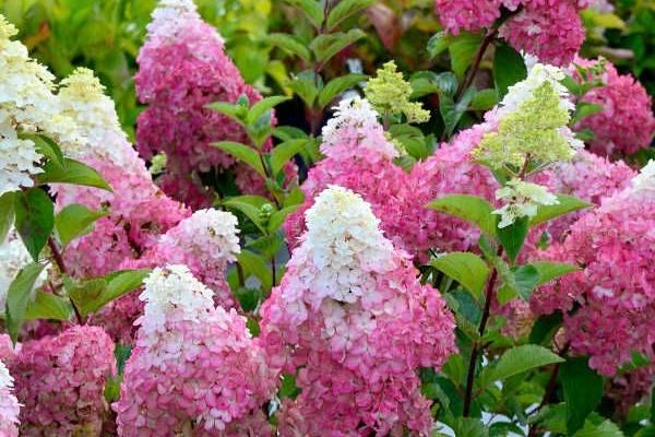 Гортензия метельчатая грандифлора — особенности ухода и размножения на садовом участке