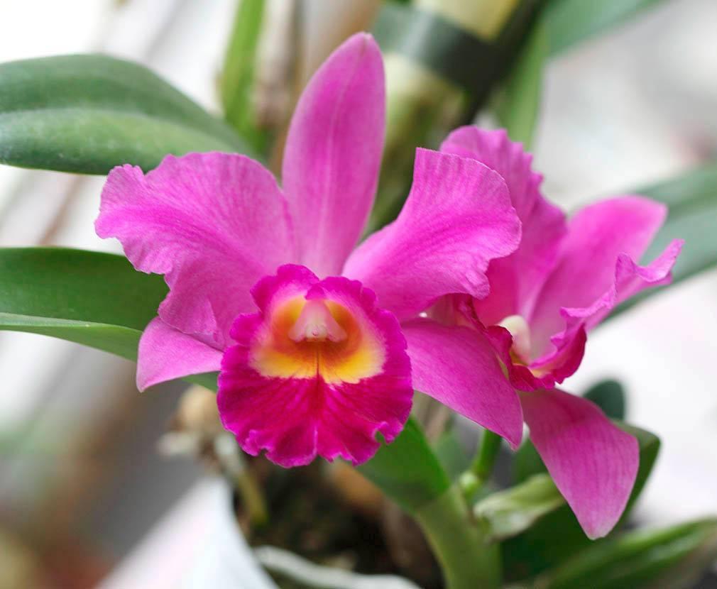 Правила домашнего ухода за орхидеей каттлеей