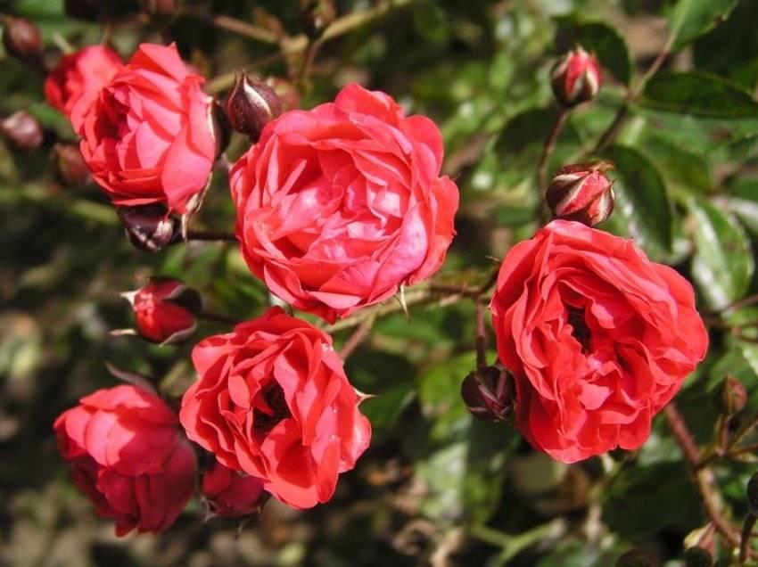 Роза полиантовая: уход и выращивание в открытом грунте. | растюнька