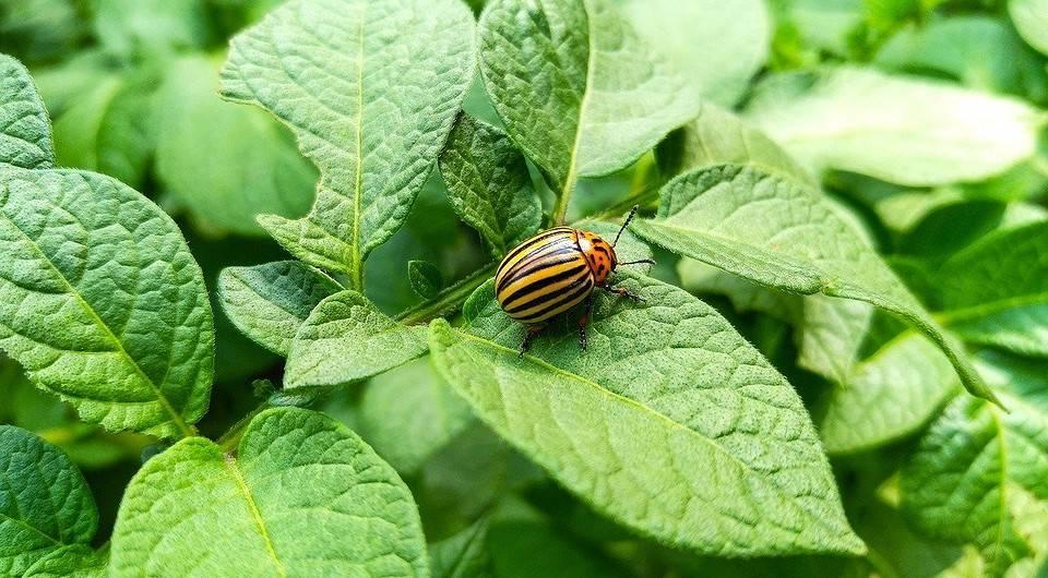 Колорадский жук - борьба народными средствами