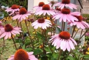 Эхинацея: выращивание и уход, посадка растения в открытом грунте в саду, когда посадить эхинацею в сад