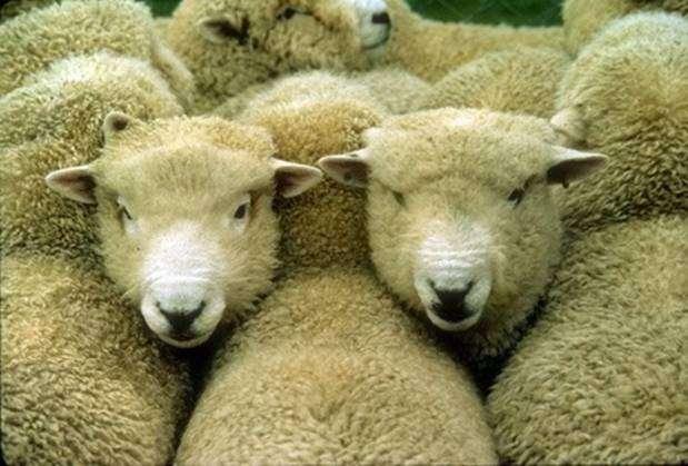 Цигайская порода овец: описание, характеристика - сельская жизнь