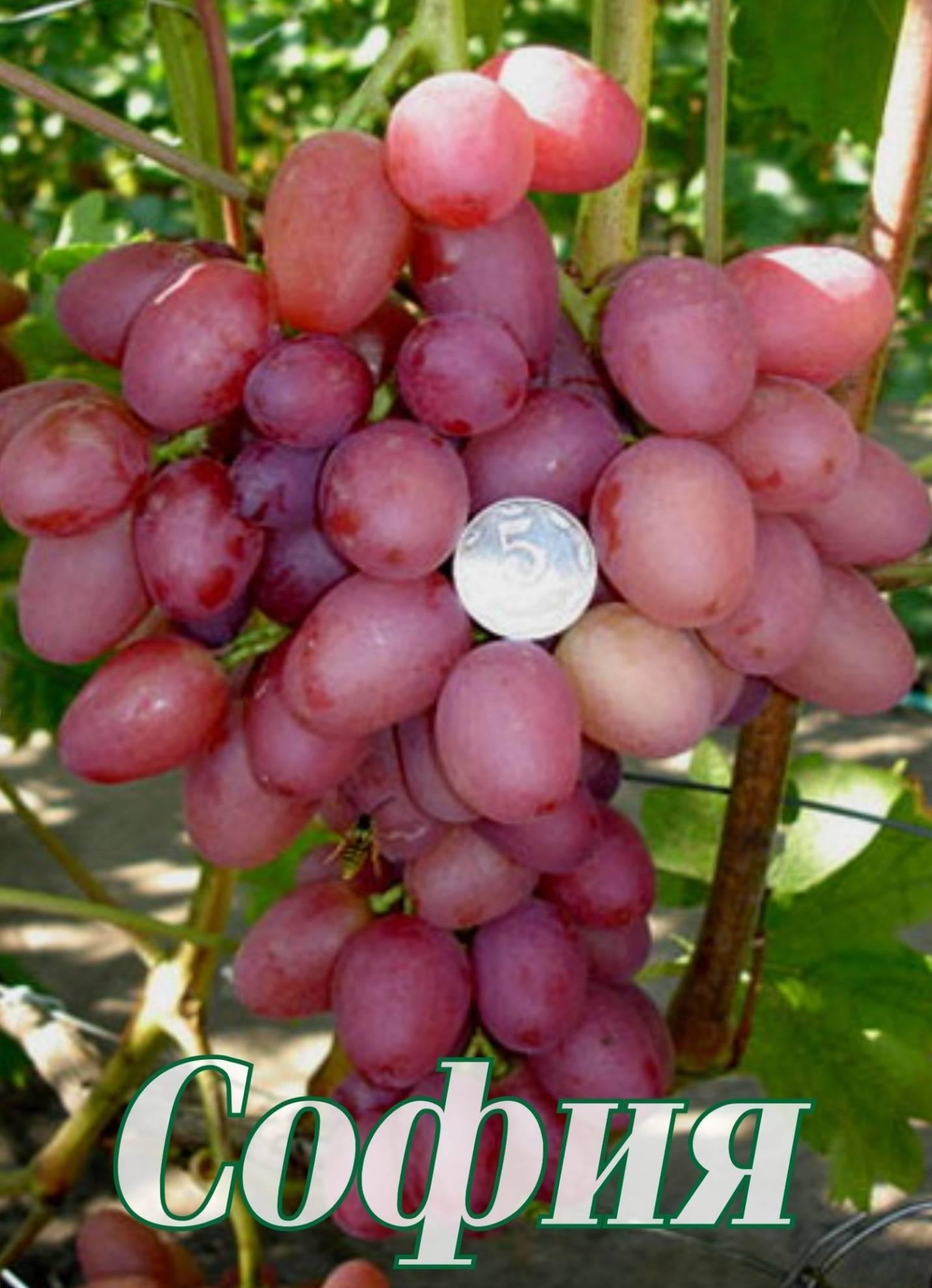 Лучшие изюмные сорта винограда - сад и огород