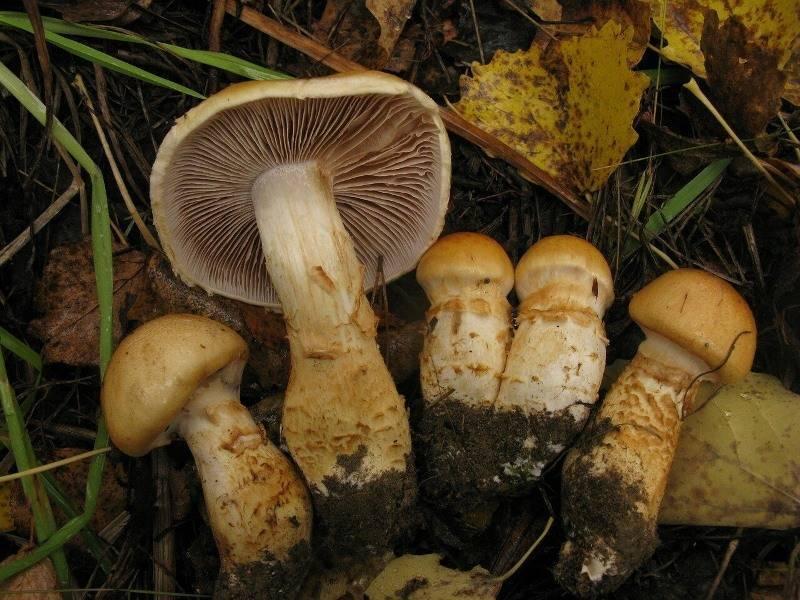 Паутинник желтый (cortinarius triumphans) или паутинник триумфальный: фото, описание и рецепты приготовления гриба
