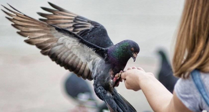 Описание и лечение распространенных болезней у голубей