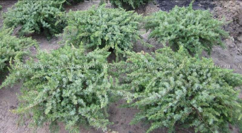 Можжевельник блю стар: описание, выращивание