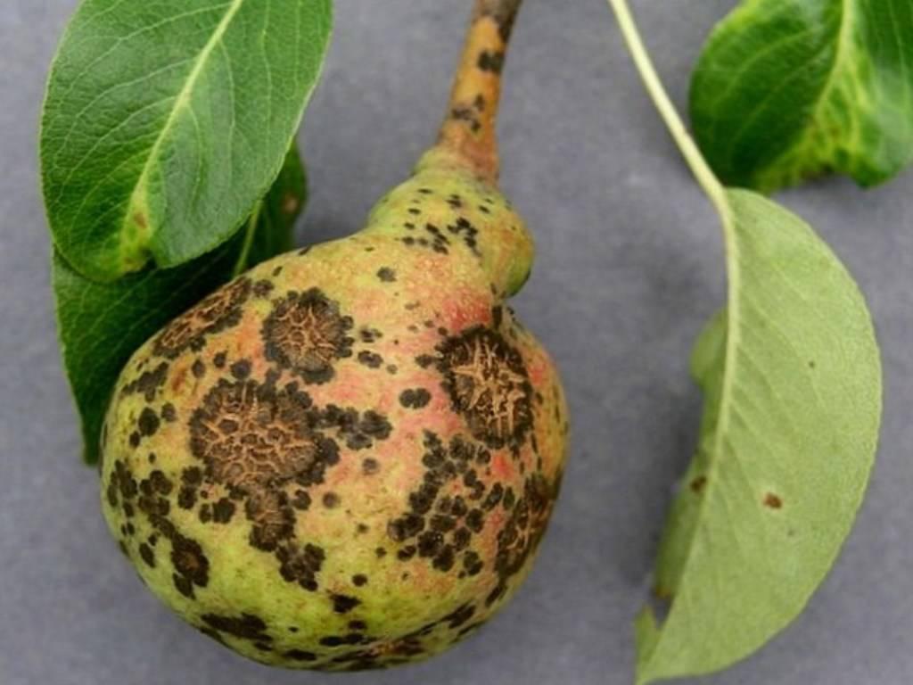 Парша на груше: как бороться с ней осенью и лечить дерево в другие времена года, как избавиться насовсем, фото проблемы selo.guru — интернет портал о сельском хозяйстве