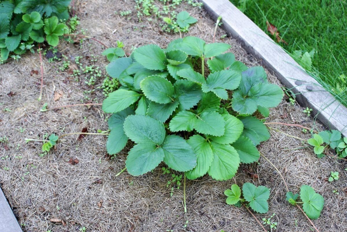 Чем обработать клубнику от вредителей и болезней весной: новости, клубника, сад, ягоды, советы, урожай, спорт