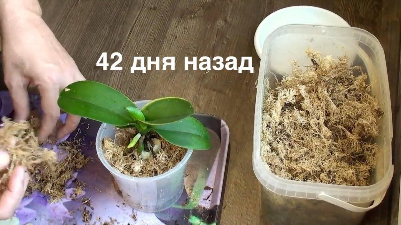 Как нарастить корни у детки орхидеи: почему они могут отсутствовать и что делать, если возникла проблемная ситуация