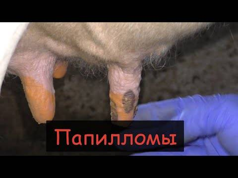 Бородавки у коров – как вывести и избавиться быстро