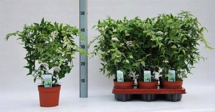 Хойя куртиси (hoya curtisii): описание и фото, советы по уходу за ней, а также особенности выращивания и методы борьбы с вредителями и болезнямидача эксперт