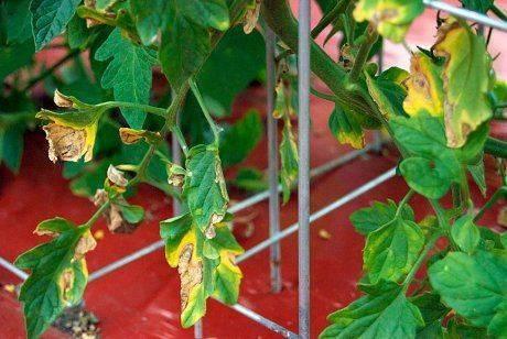 Почему скручиваются листья у томатов? 9 готовых решений, что делать, если листья томатов скручиваются внутрь, вверх или вниз. | красивый дом и сад