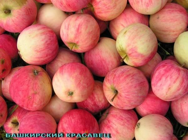 Яблоня башкирская красавица (башкирский красавец): описание сорта, фото, отзывы