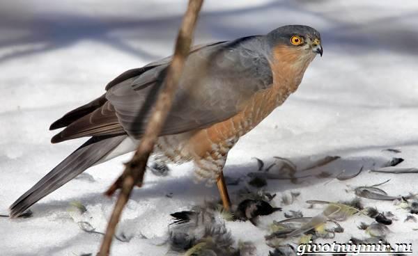 Ястреб, описание, фото, среда обитания, питание, видео, ястреб перелетная или зимующая птица