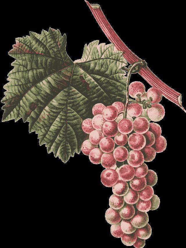 Классические сорта винограда, ?дамские пальчики» и их подробное описание