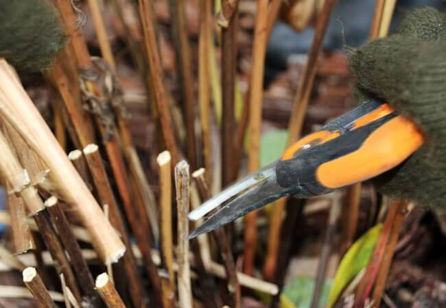 Когда обрезать пионы после цветения на зиму и как – правила обрезки, нужно ли, сроки, подготовка когда обрезать пионы после цветения на зиму и как – правила обрезки, нужно ли, сроки, подготовка