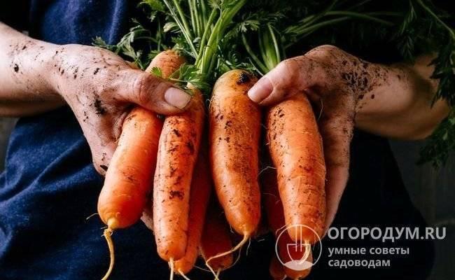 Морковь самсон: описание и характеристика сорта, урожайность, посадка и уход, фото, отзывы