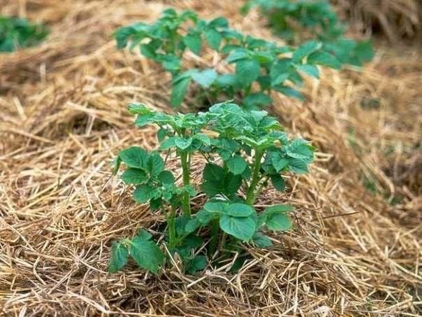 Выращивание картофеля: изучаем различные методы и выбираем свой