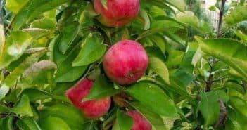 Знаменитая яблоня слава победителям
